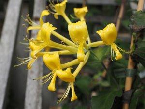 Lonicera tragophylla 'Maurice Foster'