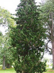 Cupressus lawsoniana 'Stricta'
