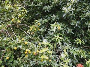 Bowkeria cymosa