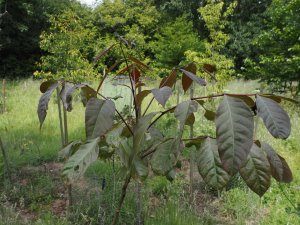 Tetradium aff. fraxinifolia
