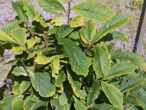 Maddenia wilsonii