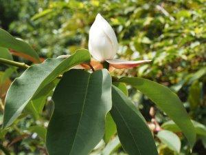 Magnolia sapaensis