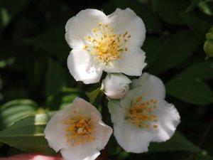 Deutzia prunifolia or not