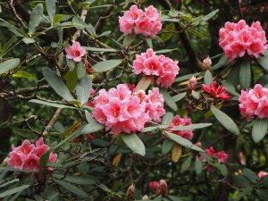 Rhododendron 'Harrow Hybrids'