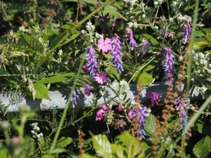 Tufted vetch and red campion