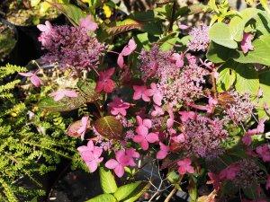 Hydrangea serrata 'Garden House Beauty'