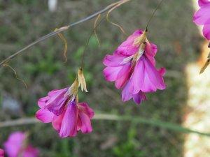 Dierama pulcherimum
