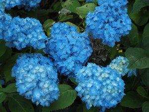 best blue hydrangea