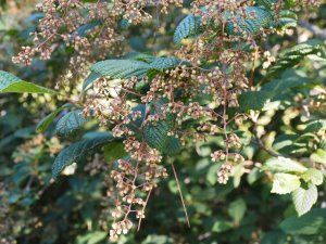 Meliosma dillenifolia subsp. cuneifolia