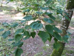 Acer pyrianthum