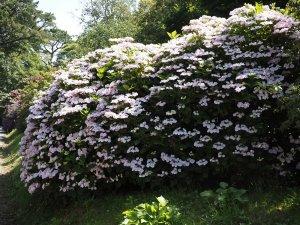 Hydrangea 'Hobella'