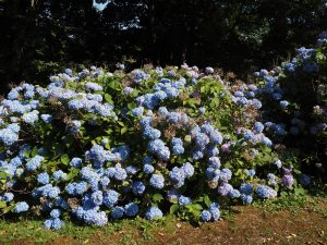 Hydrangea 'Joseph Banks'