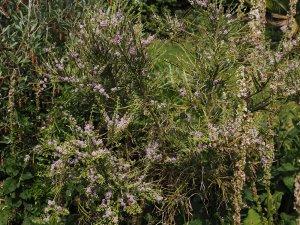 Carmichaelia odorata