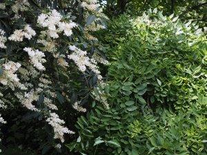Clethra barbinervis and Stypholobium japonicum 'Pendula'