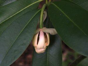Magnolia conifera var. chingii