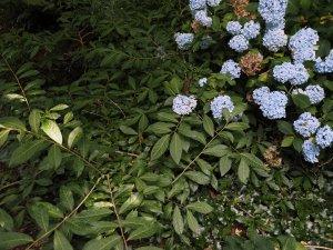 Orixa japonica and Hydrangea 'Joseph Banks'