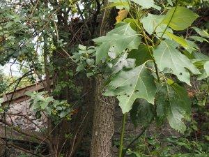 Vallea stipularis