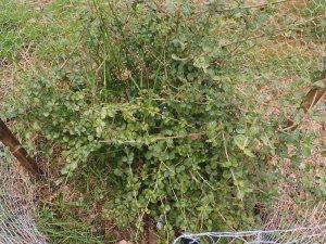 Viburnum parvifolium