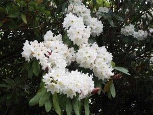 Rhododendron 'Polar Bear' seedlings