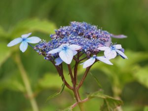 Hydrangea serrata 'Crug Cobalt'