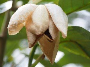 Magnolia globosa