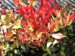 Leucothoe axillaris 'Little Flames'