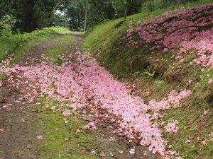 Rhododendron 'Harrow Hybrid'
