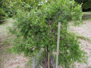 Podocarpus falcatus