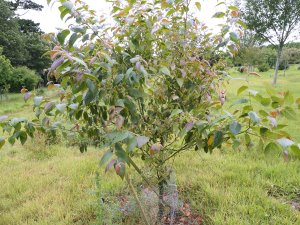 Betula insignis ssp. fangipanensis