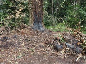 Pinus insignis