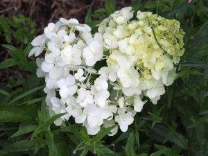 Hydrangea paniculata 'Polar Bear'