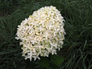Hydrangea paniculata 'Skyfall'