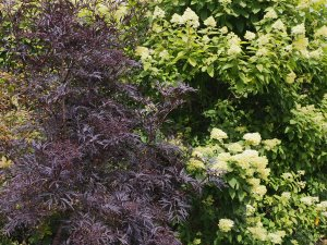 Sambucus nigra 'Black Lace' and Hydrangea paniculata 'Limelight'