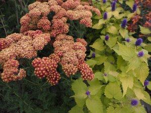 Achillea 'Summer Fruits Carmine' and Agastache 'Golden Jubilee'