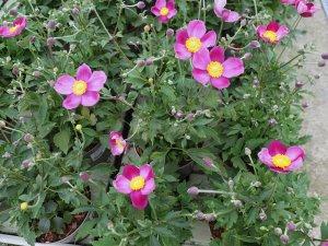 Anemone 'Pretty Lady Susan'
