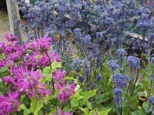 Monarda 'Knight Violet' and Eryngium planum 'Magical Purple Falls'