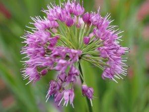 Allium 'Millennium Lavender Bubbles'