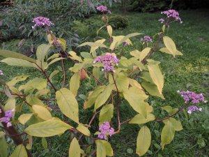 Hydrangea robusta 'Tatiana'