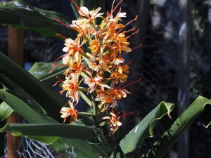 Hedychium gardnerianum 'Assam Orange'