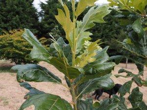 Quercus bushii 'Seattle Trident'