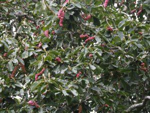 Magnolia sargentiana robusta