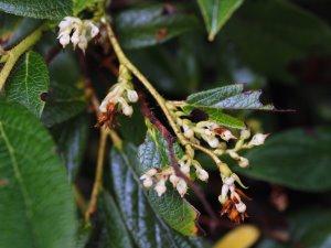 Gaultheria hookeri or Vaccinum wardii