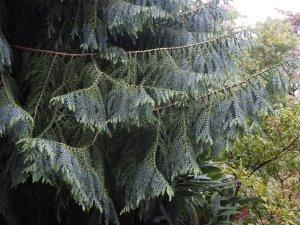 Taiwania cryptomeria