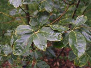 Lithocarpus fenestratus