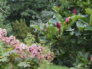 Magnolia 'March Till Frost'
