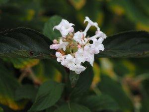 Viburnum x bodnantense 'Charles Lemont'