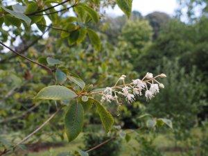 Clethra kaipoensis