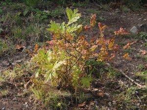 seedling tree paeony
