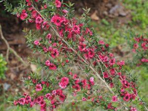 Leptospermum 'Red Damask'