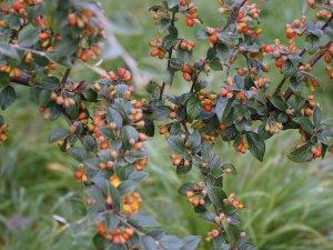 Cotoneaster raoujanensis